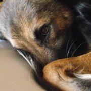 Acustofobia perros