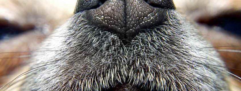 El olfato del perro